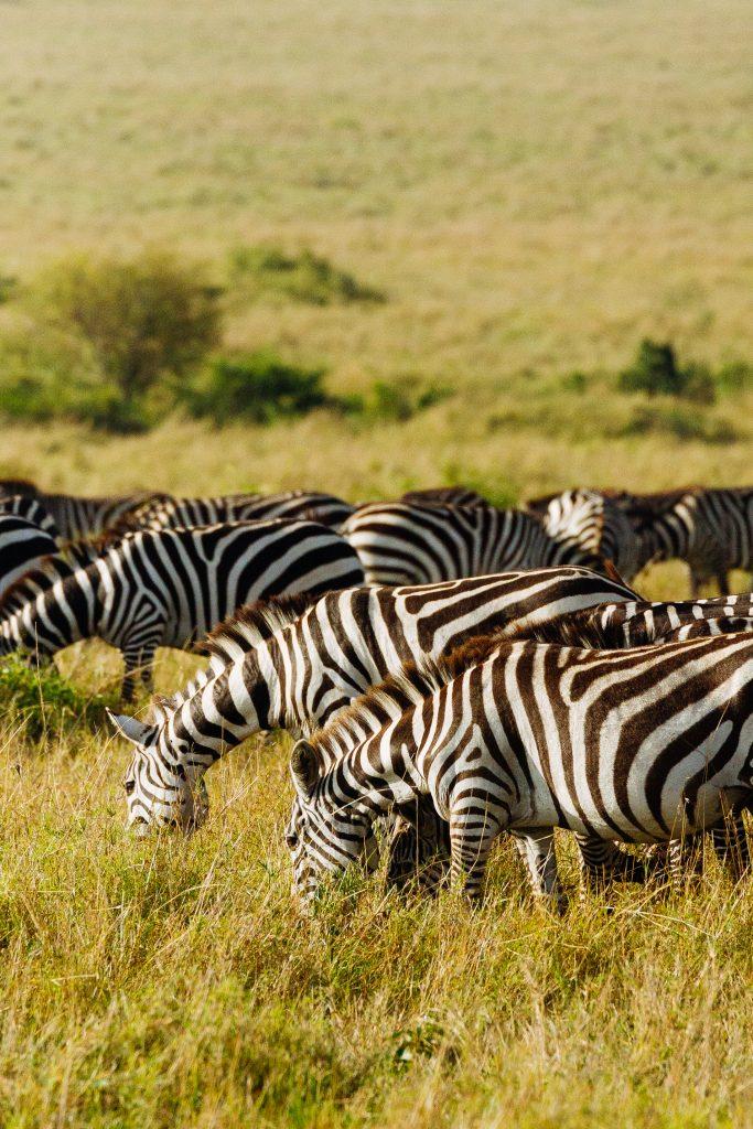 zebras eating while on safari in the maasai mara